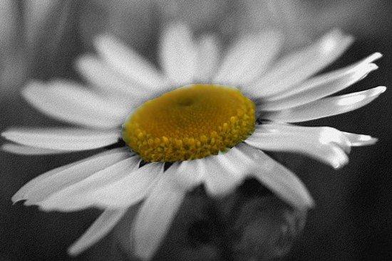 Photo marguerite mon 1er montage noir et blanc avec - Tableau noir et blanc avec touche de couleur ...