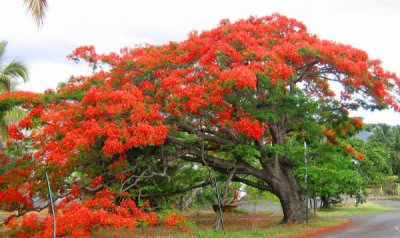 un manifique arbre de la reunion le flamboyant blog de jardinier38. Black Bedroom Furniture Sets. Home Design Ideas